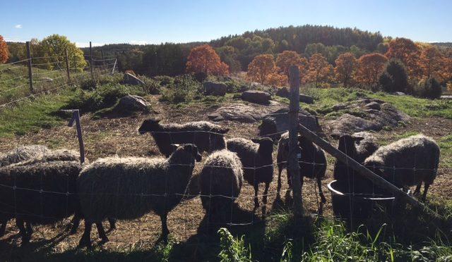 Vår fårgård finns i Brottby/Vallentuna